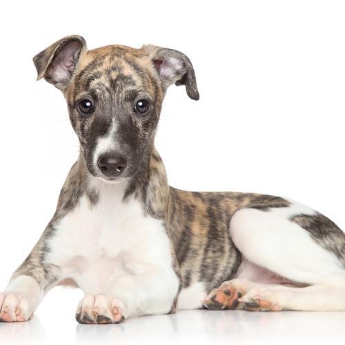 Whippet Dog For Sale - petfinder
